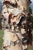 Ствол дерева с расшивой шелушения Стоковые Изображения RF