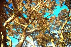 Ствол дерева фикуса Стоковые Изображения RF