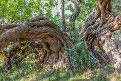 Ствол дерева Carob стоковые фотографии rf
