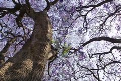 Ствол дерева Jacaranda с малыми цветками и небом Стоковые Фотографии RF