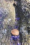 Ствол дерева Jacaranda с малыми цветками и семенем Стоковая Фотография