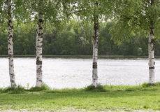 Стволы дерева березы закрывают вверх Стоковые Фото