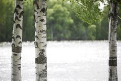 Стволы дерева березы закрывают вверх Стоковая Фотография RF