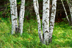 Стволы дерева белой березы Стоковое Изображение