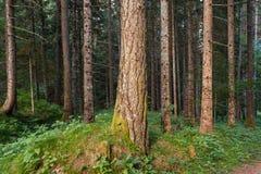 Стволы дерева в лесе Стоковые Изображения