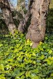 Стволы дерева и листья Стоковое Изображение RF