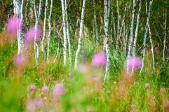 Стволы дерева серебряной березы Стоковые Изображения