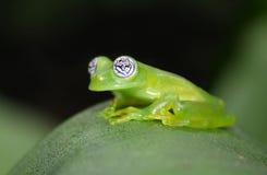Стеклянная лягушка Стоковое Фото