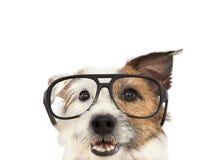 стекла собаки нося стоковые фотографии rf