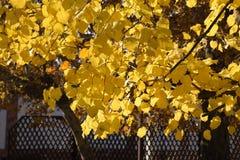 стекло выходит липа misted над фотографируя желтым цветом Желтеть выходит на ветви дерева Предпосылка осени от листьев липы Желта Стоковые Фото