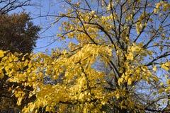стекло выходит липа misted над фотографируя желтым цветом Желтеть выходит на ветви дерева Предпосылка осени от листьев липы Желта Стоковое Изображение RF