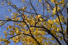 стекло выходит липа misted над фотографируя желтым цветом Желтеть выходит на ветви дерева Предпосылка осени от листьев липы Желта Стоковые Фотографии RF