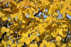 стекло выходит липа misted над фотографируя желтым цветом Желтеть выходит на ветви дерева Предпосылка осени от листьев липы Желта Стоковые Изображения RF