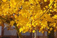 стекло выходит липа misted над фотографируя желтым цветом Желтеть выходит на ветви дерева Предпосылка осени от листьев липы Желта Стоковая Фотография