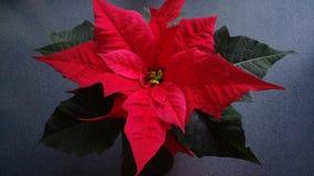 стекло цветка рождества шариков предпосылки изолировало белизну poinsettia красную Стоковые Фотографии RF