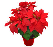 стекло цветка рождества шариков предпосылки изолировало белизну poinsettia красную Стоковые Фото