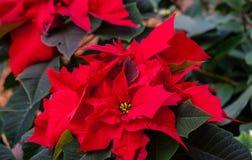 стекло цветка рождества шариков предпосылки изолировало белизну poinsettia красную Стоковые Изображения