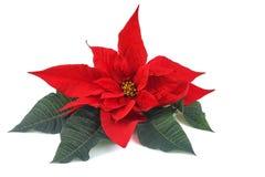 стекло цветка рождества шариков предпосылки изолировало белизну poinsettia красную Стоковые Изображения RF