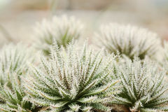 Стекло Haworthia стоковая фотография