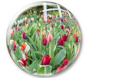 Стеклянная сфера отражая красные цветки тюльпанов Стоковое Изображение