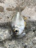 Стеклянные рыбы зацеплянные резиновый прикорм стоковая фотография