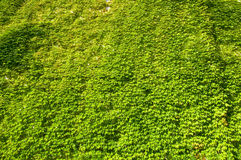 стена виноградины одичалая Стоковое Изображение RF