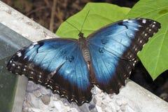 стена голубого morpho бабочки отдыхая Стоковые Изображения