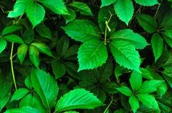 Стена диких ветвей виноградины с листьями летом Текстура лоз в саде Листва плюща на крупном плане стены, природы стоковые фотографии rf