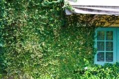 Стена дома вполне завода вызвала pumila Фикуса с голубым окном стоковое фото rf