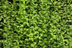 Стена завода, зеленая предпосылка Стоковое Изображение RF