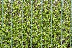 Стена зеленого растения Стоковые Фотографии RF