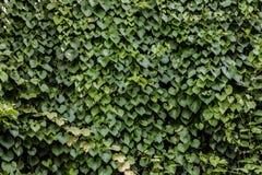 Стена зеленого растения в саде Стоковая Фотография RF
