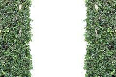Стена зеленого растения изолированная на белизне Стоковые Фотографии RF