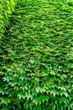 Стена зеленых листьев плюща Стоковое Изображение RF