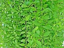 Стена зеленых растений Variegata nummularia Dischidia для предпосылки Стоковое Изображение