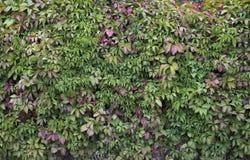Стена изгороди загородки Буша Стоковые Фотографии RF