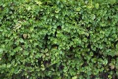 Стена изгороди загородки Буша Стоковое фото RF
