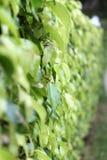 Стена листьев Стоковая Фотография