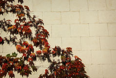 Стена и виноградина Стоковые Изображения