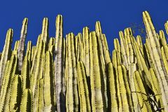 Стена кактуса Стоковая Фотография
