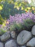 стена лаванды каменная Стоковые Фотографии RF