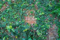Стена листьев зеленого растения или зеленого цвета Стоковая Фотография