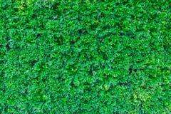 Стена листьев зеленого растения или зеленого цвета Стоковые Фото