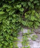 стена лоз Стоковые Фото