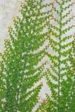 стена лозы кирпича растущая Стоковые Фотографии RF