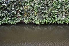 Стена одичалого плюща Стоковое Фото