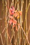стена плюща предпосылки флористическая Стоковые Изображения RF