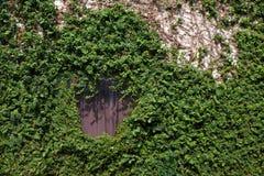 Стена покрытая с плющом и лозой Стоковая Фотография RF