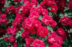 Стена предпосылки красных роз Стоковое фото RF