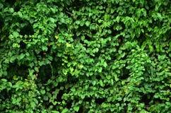 Стена плюща Стоковые Фотографии RF